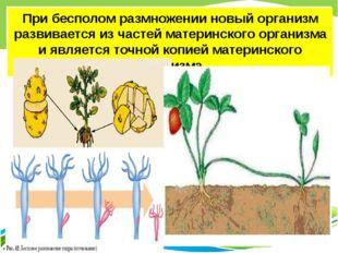 При бесполом размножении новый организм развивается из частей материнского ор