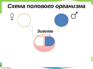 Схема полового организма Зигота FokinaLida.75@mail.ru