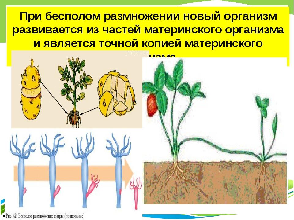 При бесполом размножении новый организм развивается из частей материнского ор...