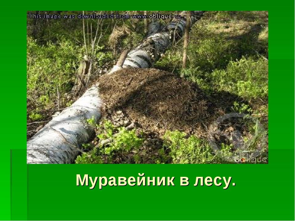 Муравейник в лесу.