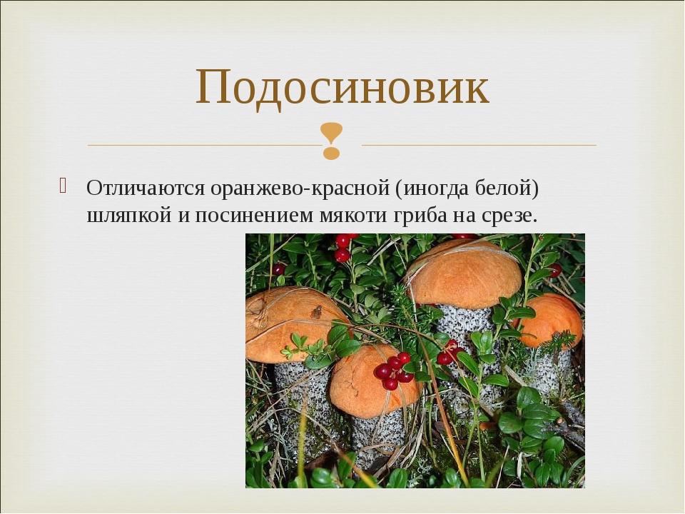 Отличаются оранжево-красной (иногда белой) шляпкой и посинениеммякотигриба...