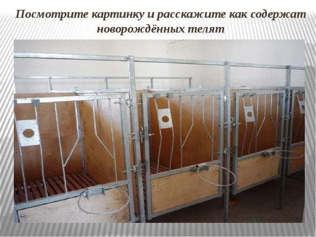 Посмотрите картинку и расскажите как содержат новорождённых телят