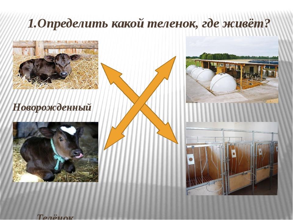 1.Определить какой теленок, где живёт? Новорожденный теленок Телёнок 10 – 12...