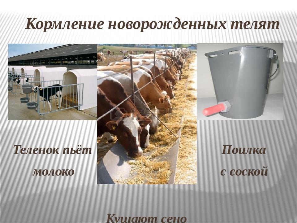 Кормление новорожденных телят Теленок пьёт Поилка молоко с соской Кушают сено