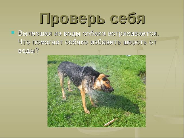 Проверь себя Вылезшая из воды собака встряхивается. Что помогает собаке избав...