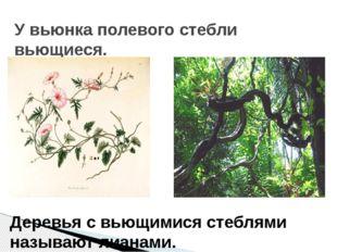 У вьюнка полевого стебли вьющиеся. Деревья с вьющимися стеблями называют лиан