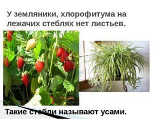 У земляники, хлорофитума на лежачих стеблях нет листьев. Такие стебли называю