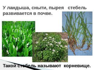 У ландыша, сныти, пырея стебель развивается в почве. Такой стебель называют к