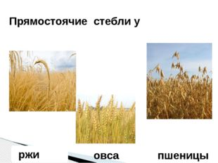 ржи Прямостоячие стебли у овса пшеницы