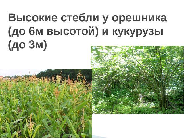 Высокие стебли у орешника (до 6м высотой) и кукурузы (до 3м)