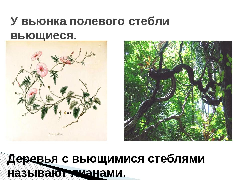 У вьюнка полевого стебли вьющиеся. Деревья с вьющимися стеблями называют лиан...
