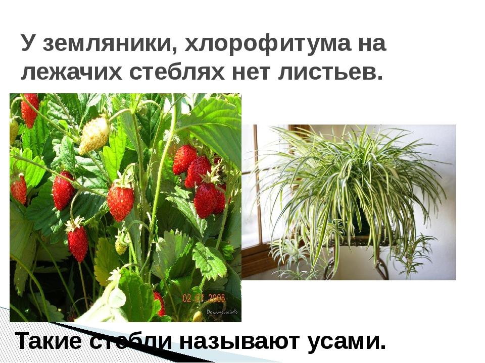 У земляники, хлорофитума на лежачих стеблях нет листьев. Такие стебли называю...