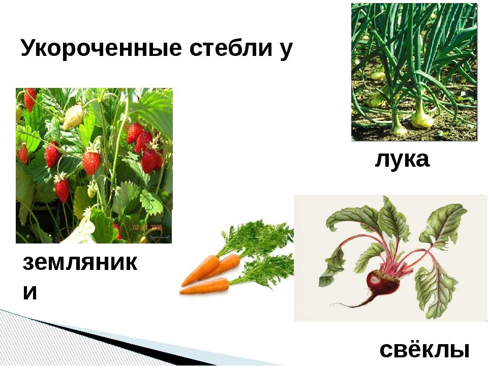 земляники Укороченные стебли у моркови свёклы лука