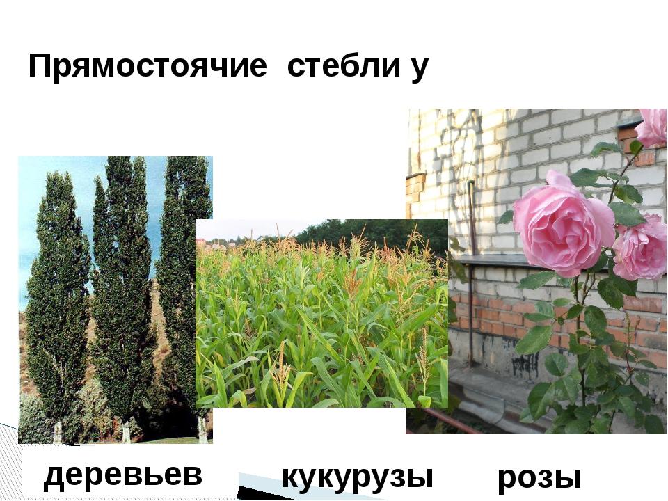 деревьев Прямостоячие стебли у розы кукурузы
