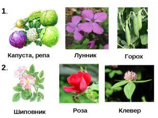 Капуста, репа Лунник Шиповник Роза Клевер Горох 1. 2.
