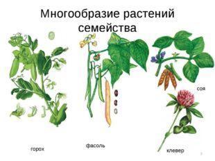 Многообразие растений семейства * горох фасоль соя клевер
