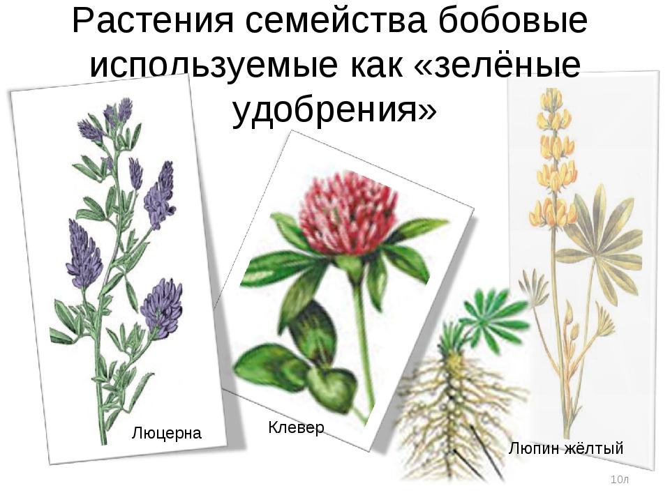 Растения семейства бобовые используемые как «зелёные удобрения» *л Люцерна Кл...
