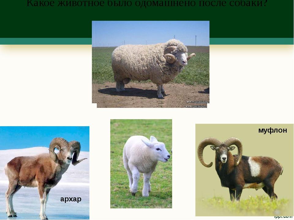 Какое животное было одомашнено после собаки? муфлон архар