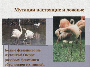 Мутации настоящие и ложные Белые фламинго не мутанты! Окрас розовых фламинго