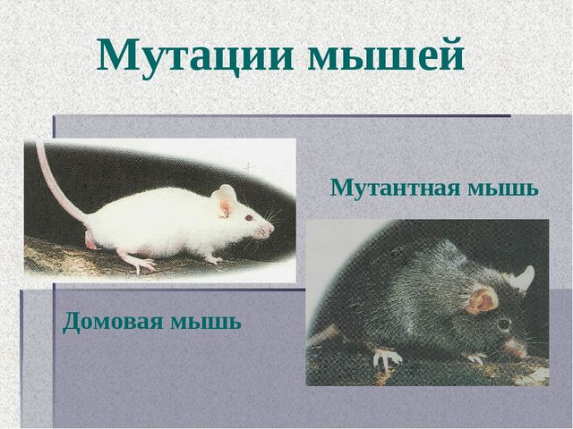 Мутации мышей Домовая мышь Мутантная мышь