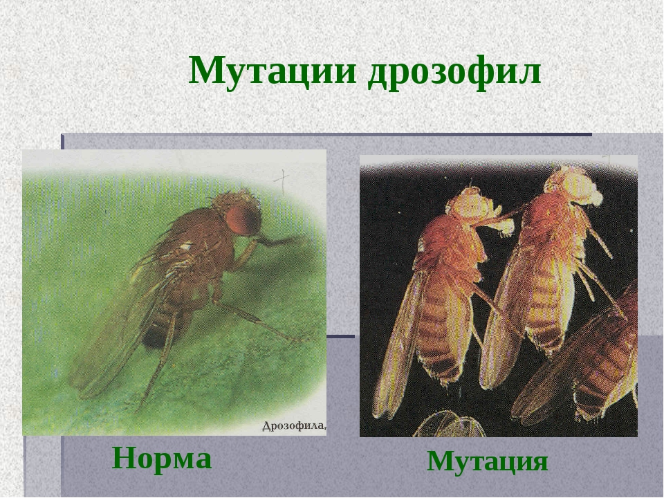 Мутации дрозофил Норма Мутация