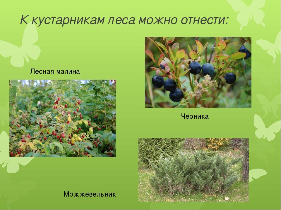 К кустарникам леса можно отнести: Черника Лесная малина Можжевельник