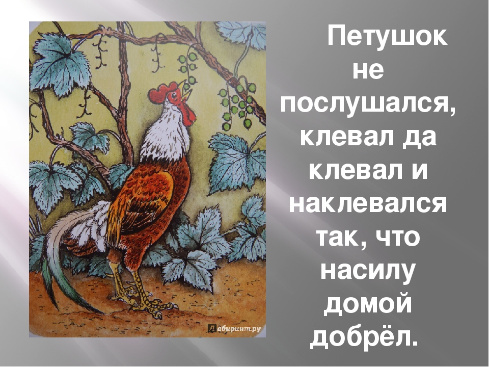 Петушок не послушался, клевал да клевал и наклевался так, что насилу домой д...
