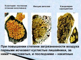 Ксантория постенная (стенная золотнянка) Канделярия одноцветная Фисция аиполи