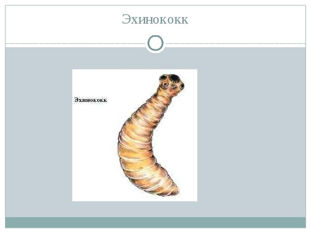 Эхинококк