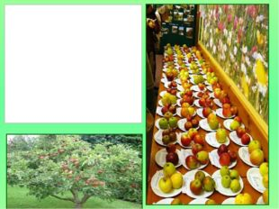 День Яблока- это празднование и демонстрация многообразия и богатства природ