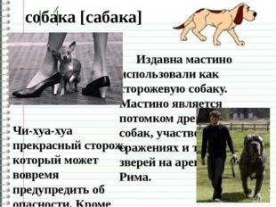 собака [сабака] Чи-хуа-хуа прекрасный сторож, который может вовремя предупре