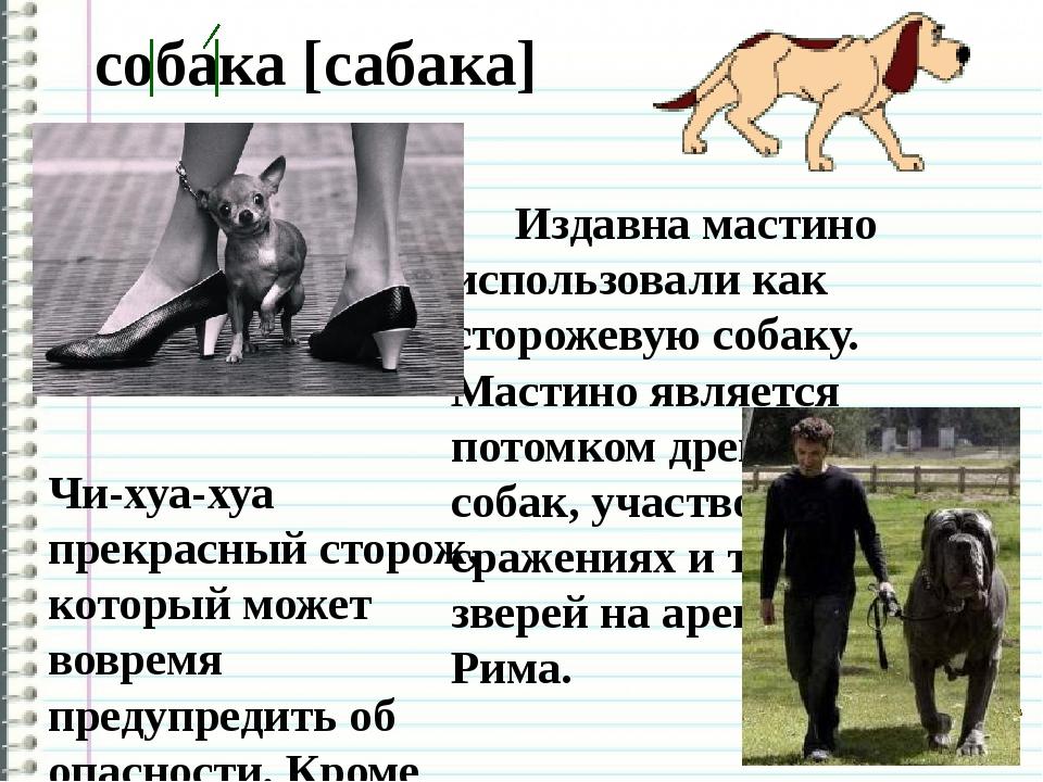 собака [сабака] Чи-хуа-хуа прекрасный сторож, который может вовремя предупре...