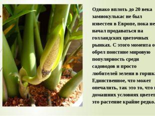 Однако вплоть до 20 века замиокулькас не был известен в Европе, пока не начал