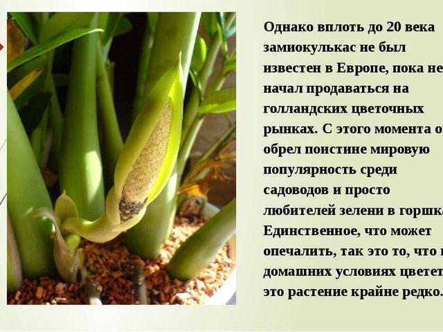 Однако вплоть до 20 века замиокулькас не был известен в Европе, пока не начал...