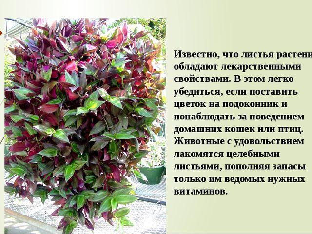 Известно, что листья растения обладают лекарственными свойствами. В этом легк...