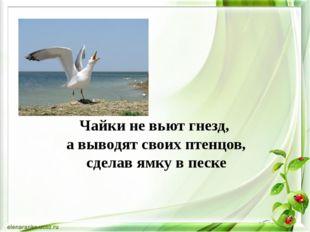 Чайки не вьют гнезд, а выводят своих птенцов, сделав ямку в песке