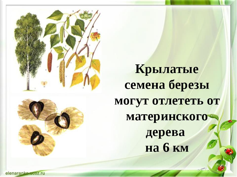 Крылатые семена березы могут отлететь от материнского дерева на 6 км