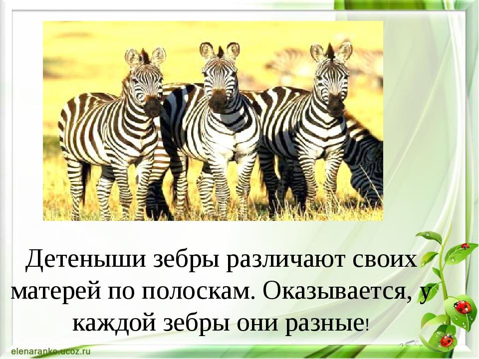 Детеныши зебры различают своих матерей по полоскам. Оказывается, у каждой зе...