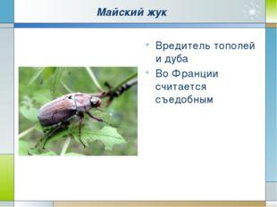 Майский жук Вредитель тополей и дуба Во Франции считается съедобным