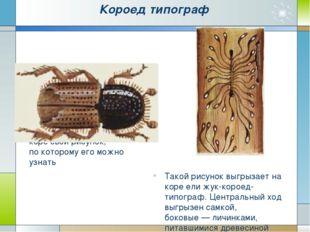 Короед типограф Жуков-короедов много. Каждый вид оставляет на коре свой рисун