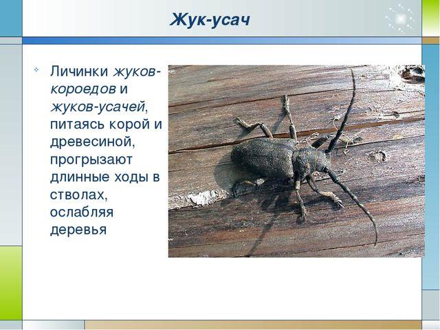 Жук-усач Личинки жуков-короедов и жуков-усачей, питаясь корой и древесиной, п...