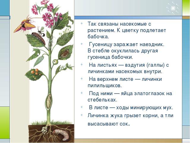 Так связаны насекомые с растением. К цветку подлетает бабочка. Гусеницу зара...