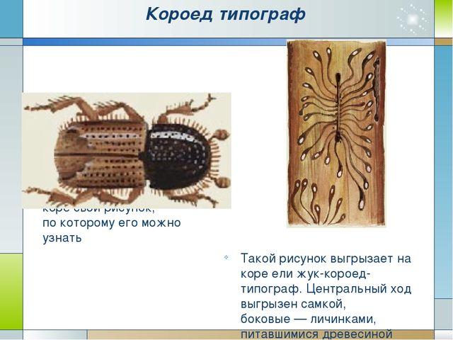 Короед типограф Жуков-короедов много. Каждый вид оставляет на коре свой рисун...