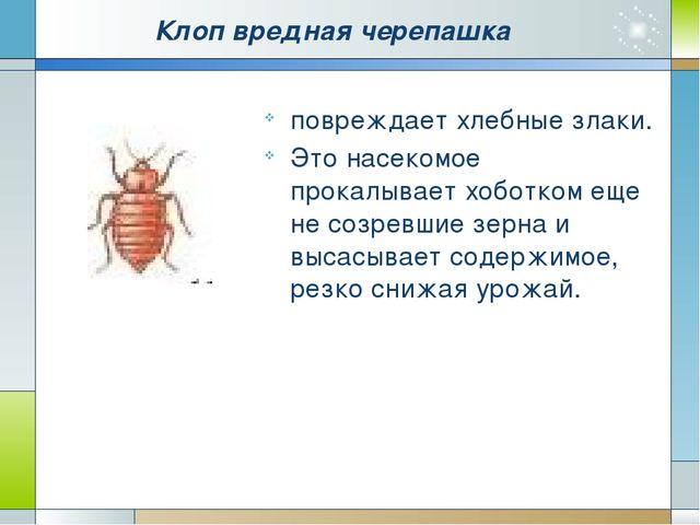 Клоп вредная черепашка повреждает хлебные злаки. Это насекомое прокалывает хо...