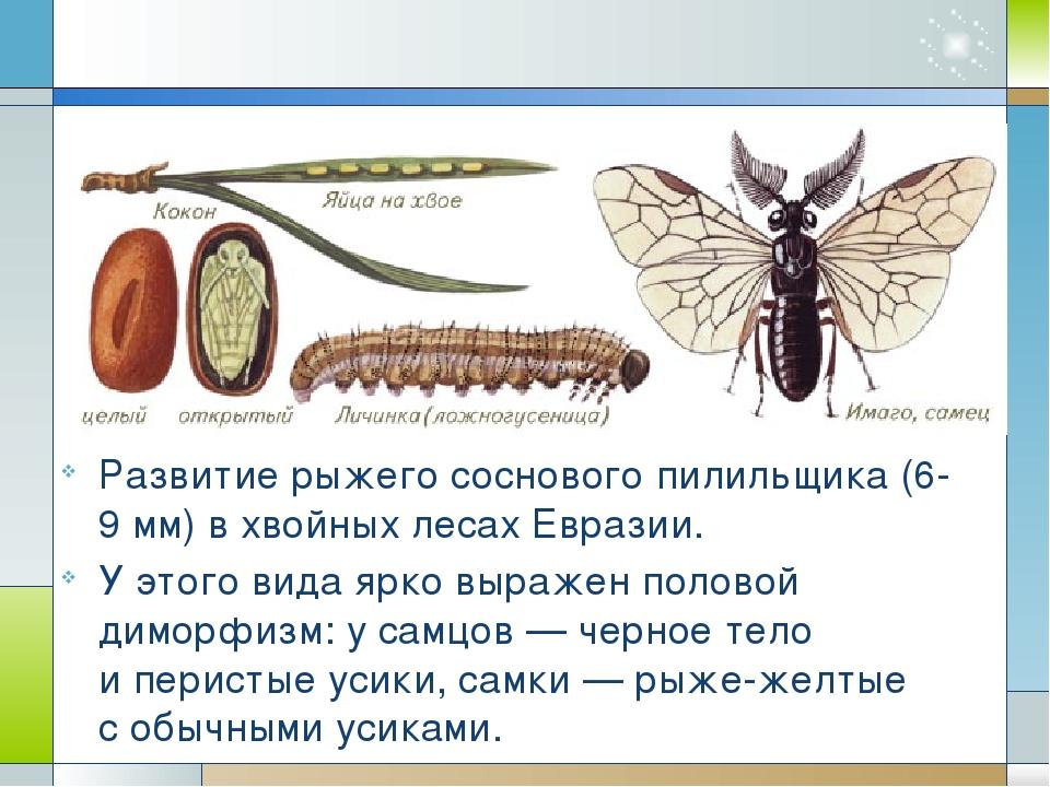 Развитие рыжего соснового пилильщика (6-9мм) вхвойных лесах Евразии. Уэто...