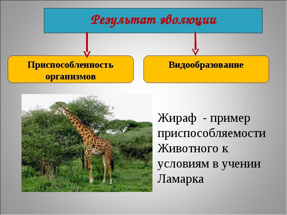 Результат эволюции Приспособленность организмов Видообразование Жираф - приме...
