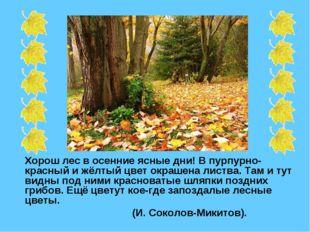 Хорош лес в осенние ясные дни! В пурпурно-красный и жёлтый цвет окрашена лис