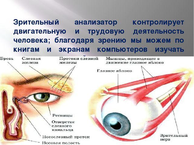 Зрительный анализатор контролирует двигательную и трудовую деятельность челов...
