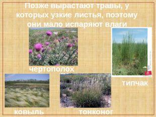 Позже вырастают травы, у которых узкие листья, поэтому они мало испаряют влаг