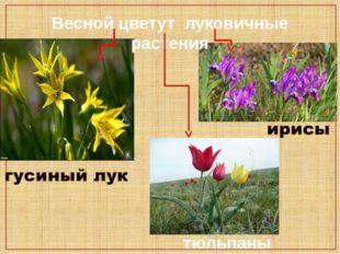 Весной цветут луковичные растения тюльпаны